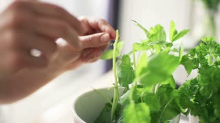 Woman picking basil leaves from plant in flowerpot, slow motion shot at 240fps