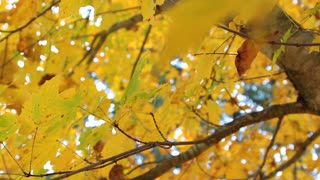 Yellow Autumn Tree Leaves