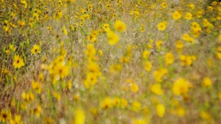 Yellow Flower Meadow Timelapse