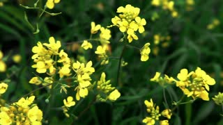 Yellow Flowers in Green Field 2