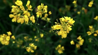Yellow Flowers in Green Field 4