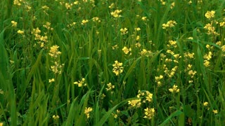 Yellow Flowers in Green Field 5