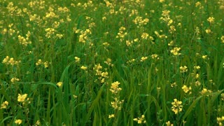 Yellow Flowers in Green Field 6