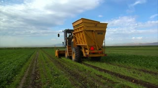 Yellow Harvesting Machine In Bean Field
