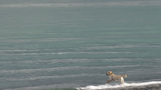 Yellow Labrador Fetching Stick in Waves
