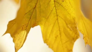 Yellow Leaf Swaying on Tree Branch 2