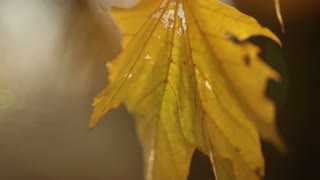 Yellow Leaf Swaying on Tree Branch 3
