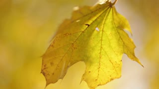Yellow Leaf Swaying on Tree Branch