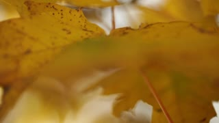 Yellow Leaves Fluttering on Branch Soft Focus 2