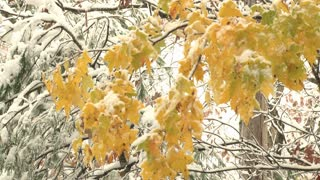 Yellow Leaves In Snow Blanketed Forest