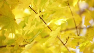 Yellow Leaves on Tree Branch 2