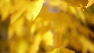 Yellow Leaves on Tree Branch 3