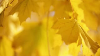 Yellow Leaves on Tree Branch 4
