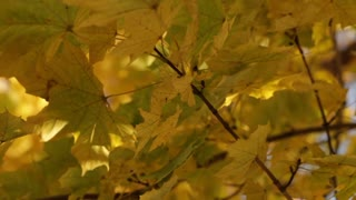 Yellow Leaves Swaying on Tree Branch