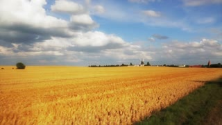 Yellow wheat field in holland