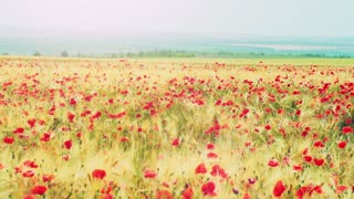 Young attractive woman dressed in white clothes is running through a poppies field feeling happy and free. Slow motion filmed at 250 fps