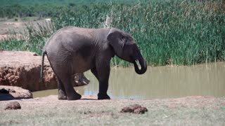 Young elephant at the waterpool when a big elephant with tusks is passing by in Addo Elephant National Park South Africa