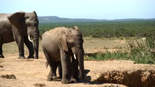 Young elephant drinking from a waterpool in Addo Elephant National Park South Africa