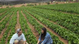 Young happy farming couple harvesting the lettuce produce on their farm.