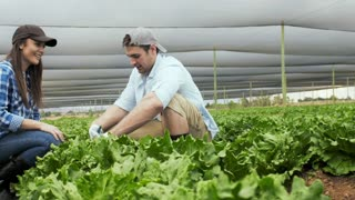 Young happy farming couple spraying organic insecticide on there lettuce produce.