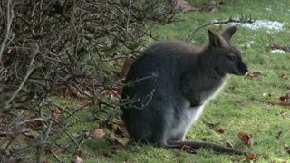 Young wallaby sitting by brush