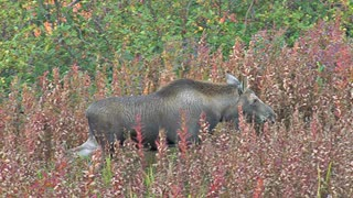 Young Moose Calf Rejoins Mother Browsing
