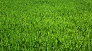Young shoots of rice swaying in the wind