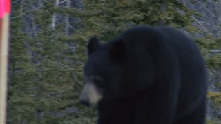 Yukon Black Bear Attacking Cameraman