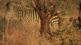 Zebra Behind Tree