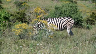 Zebra eating grass in Addo Elephant National Park South Africa