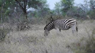 Zebra eating grass in Kruger National Park South Africa