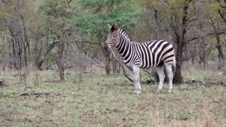 Zebra standing alone in the bush in Kruger National Park South Africa