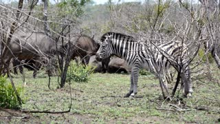 Zebra with a group of african buffaloes in the background in Kruger National Park South Africa