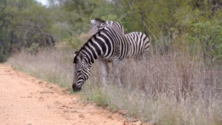 Zebras eating grass next to the road and one is crossing the road in Kruger National Park South Africa