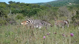 Zebras in Addo Elephant National Park South Africa