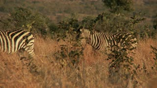 Zebras Walking In Talking In Tall Grass