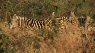 Zebras Walking Through Foliage 2