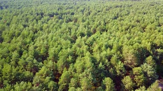 Aerial panoramic view of spacious surface of evergreen tree tops in rural woods in bright summer sunlight.
