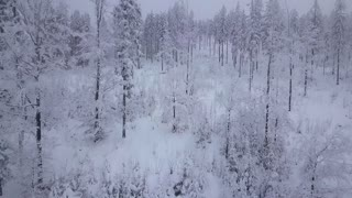 Coniferous forest with trees in white frost creating beautiful landscape in misty winter day, Poland.