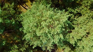 From above aerial shot taken with drone of evergreen tree tops making pattern of forest in rural area in summertime.
