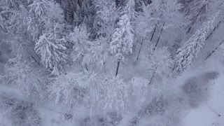 From above aerial view of silent woodland in Poland with beautiful tall coniferous trees in white snowy frost.