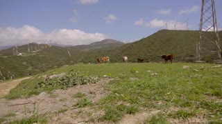View of cattle grazing on hill near wind turbines