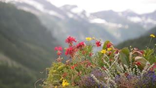 Alpine flowers bloom in summer