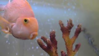 Colorful Golden Fish Enjoying In The Aquarium