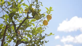Lemon tree on the background of the summer sky