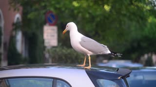 Rome, Italy. Seagull walking on the pavement among traffic
