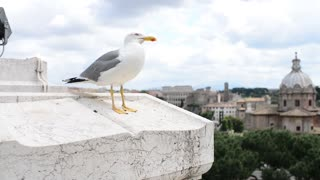 seagull sitting on the parapet - a panorama of Rome Italy
