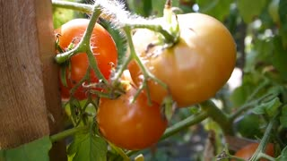 Tomatoes grown on the bushes of the eco private farm without GMOs