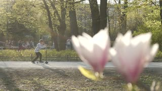 Magnolia blossomed in a spring Park, Kids riding skates, having fun