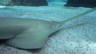 Sea inhabitants Fish-saw behind the Glass of Aquarium Genova Italy